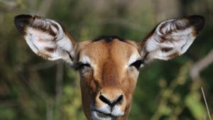 picture of animal with large ears